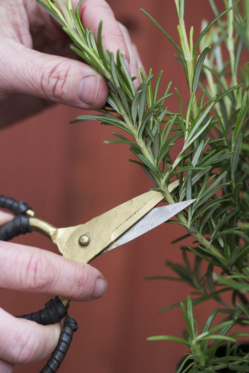 Bilden visar en hand som klipper kryddor med en sax.